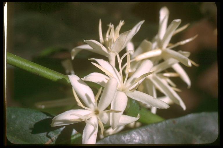 Blüte-Kaffeepflanze