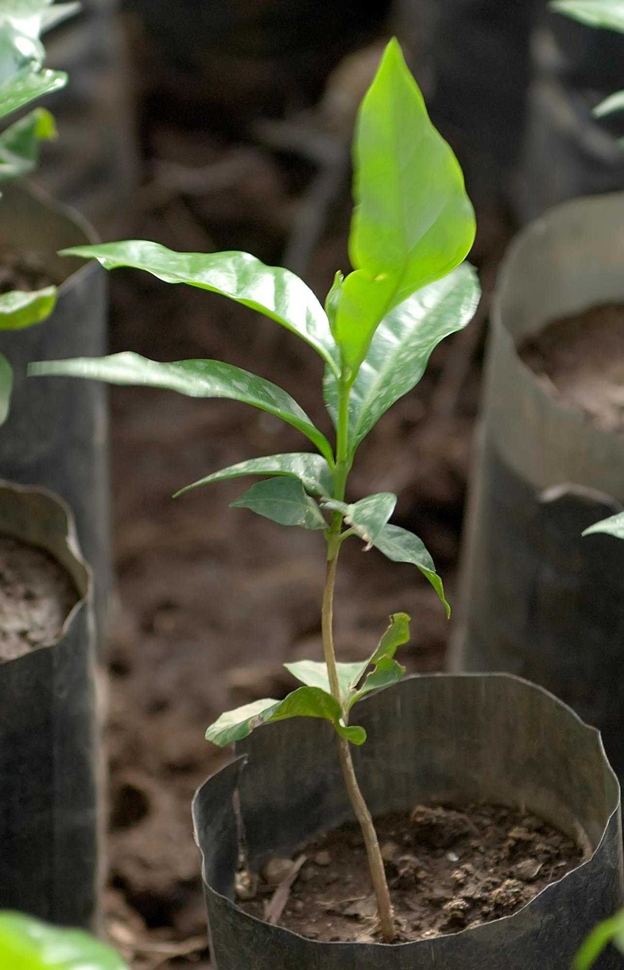 Kaffeepflanze-jung