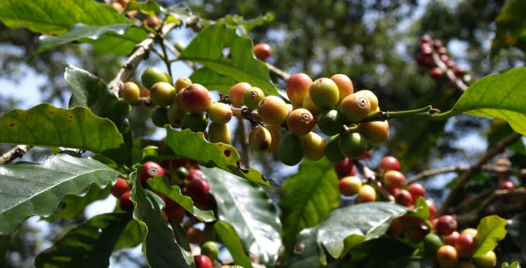 Wie entstehen Kaffeebohnen